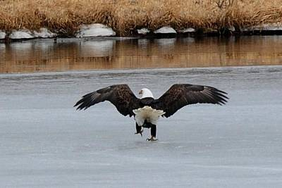 Photograph - Bald Eagle - Stepping On Ice by Marilyn Burton