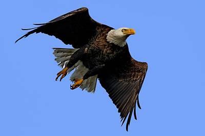 Photograph - Bald Eagle Taking Flight by Ira Runyan