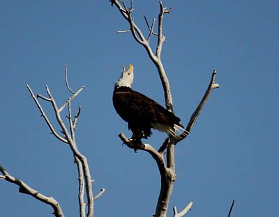 Bald Eagle Talking Art Print