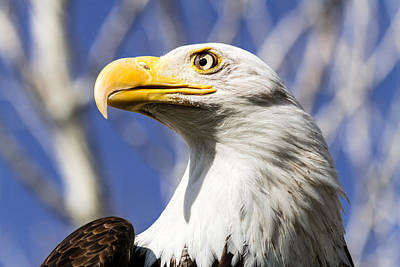 Photograph - Bald Eagle by Teri Virbickis