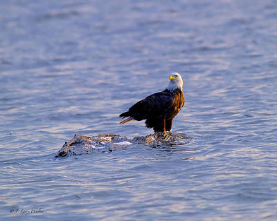 Digital Art - Bald Eagle Waiting For A Fish by J Larry Walker
