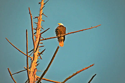 Photograph - Bald Eagle Watching by Brian Chase