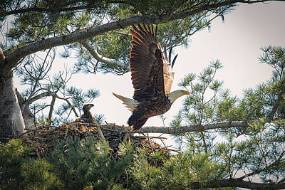 Pine Trees Photograph - Bald Eagle With Eaglet by Everet Regal