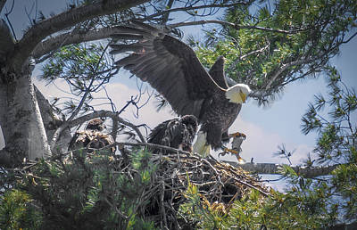 Pine Trees Photograph - Bald Eagle With Eaglets And Fish by Everet Regal