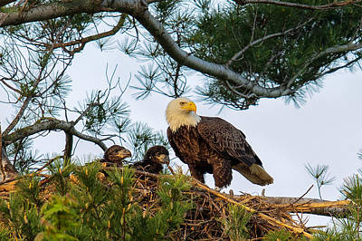 Juvenile Photograph - Bald Eagle With Eaglets  by Everet Regal