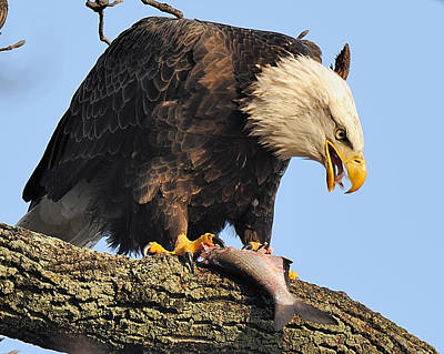 Digital Art - Bald Eagle With Fish by Angel Cher
