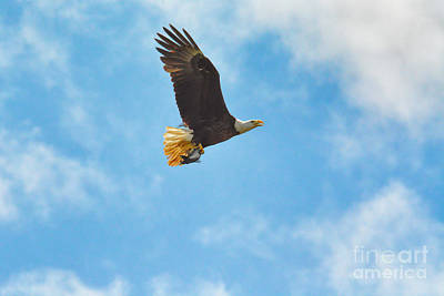 Photograph - Bald Eagle With Fish by Jai Johnson