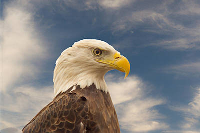 Preditor Photograph - Bald Eagle With Piercing Eyes 1 by Douglas Barnett