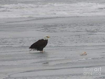 Photograph - Bald Eagle With Salmon On Ice Flow by Randy J Heath