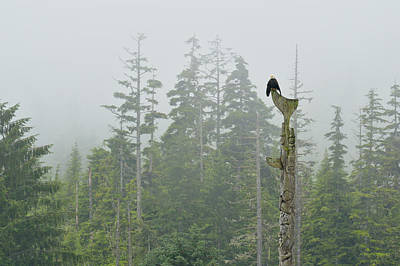Eagle Photograph - Bald Eagle,haliaeetus Leucocephalus by Don Johnston