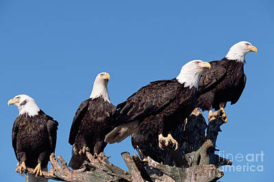 Photograph - Bald Eagles Quartet by Yva Momatiuk and John Eastcott