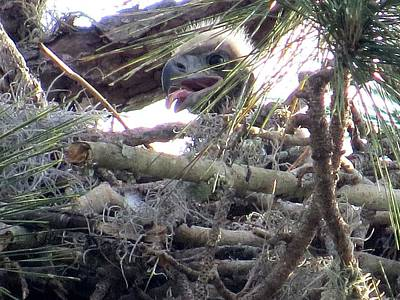Eagls Photograph - Bald Eagles Chick by Zina Stromberg