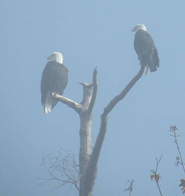 Photograph - Bald Eagles In The Fog by Brian Chase