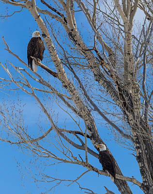 Photograph - Bald Eagles by Michael Chatt