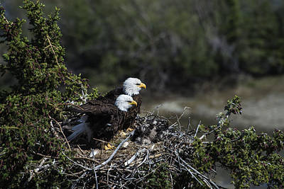 Photograph - Bald Eagles Nesting by Mark Newman