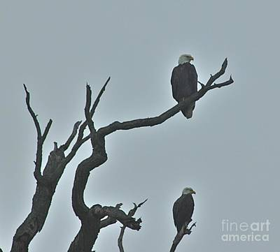 Bald Eagles  Art Print