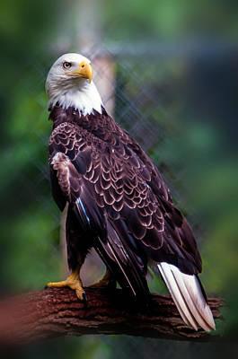 Photograph - Bald Head Eagle by Alex Grichenko