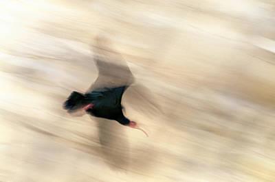 Bald Ibis Art Print