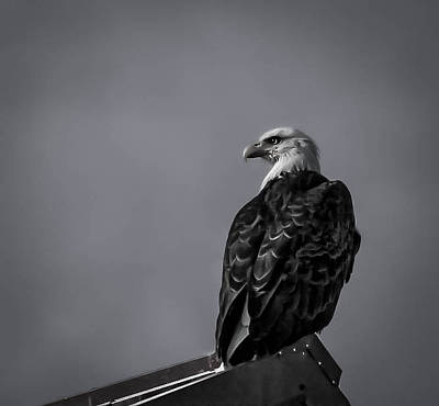 Photograph - Baldeagle Bwv1b2 by Timothy Latta