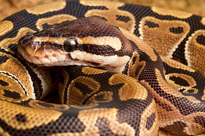 Ball Python Photograph - Ball Python Python Regius Close by David Kenny