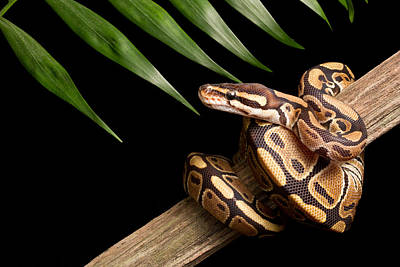 Ball Python Photograph - Ball Python Python Regius On Branch by David Kenny