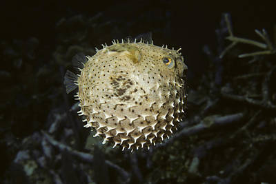 Porcupine Fish Photograph - Balloonfish by Andrew J. Martinez