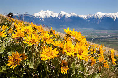 Photograph - Balsamroot Blooms by Jack Bell