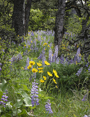 Photograph - Balsamroot Surrounded By Lupines by Jean Noren