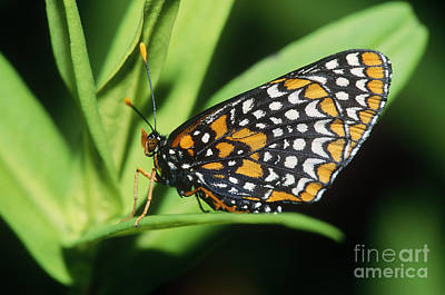 Checkerspot Photograph - Baltimore Checkerspot Butterfly by Larry West