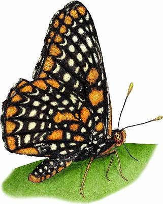 Baltimore Checkerspot Butterfly Art Print by Roger Hall