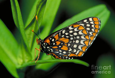Checkerspot Photograph - Baltimore Checkerspot by Larry West