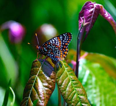 Checkerspot Photograph - Baltimore Checkerspot On Poison Ivy by Constantine Gregory