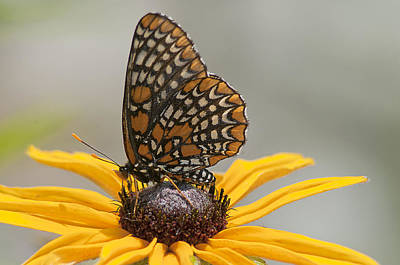 Checkerspot Photograph - Baltimore Checkerspot With Black-eyed Susan by Kathryn Whitaker
