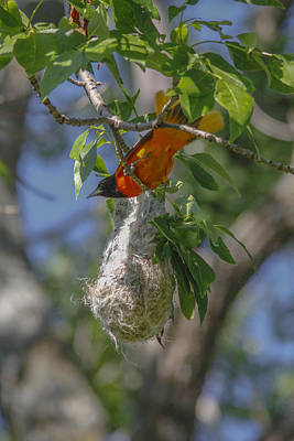 Photograph - Baltimore Oriole And Nest by Jill Bell