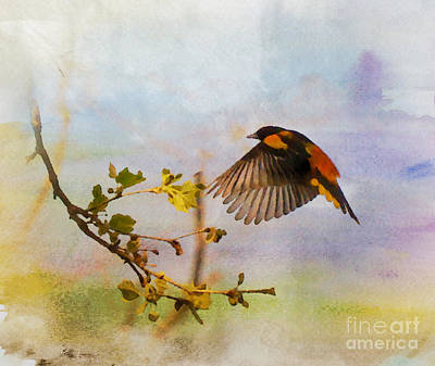 Oriole Photograph - Baltimore Oriole Arrival  by Kerri Farley