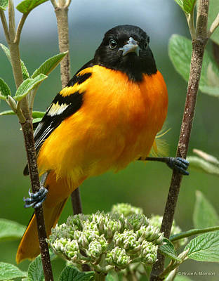 Oriole Photograph - Baltimore Oriole by Bruce Morrison