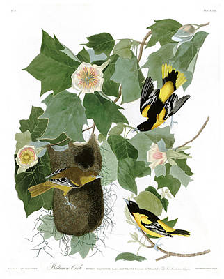 Oriole Painting - Baltimore Oriole By John James Audubon by Pablo Romero