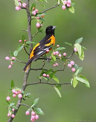 Photograph - Baltimore Oriole by Daniel Behm