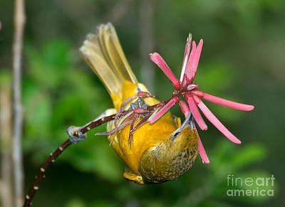 Nectaring Bird Photograph - Baltimore Oriole Feeding On Coral Bean by Anthony Mercieca