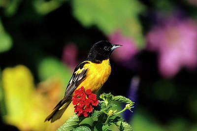Neotropical Photograph - Baltimore Oriole (icterus Galbula by Richard and Susan Day