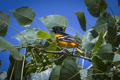 Photograph - Baltimore Oriole by Jack R Perry
