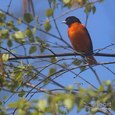 Baltimore Oriole Male And Blue Sky Art Print by Karen Adams