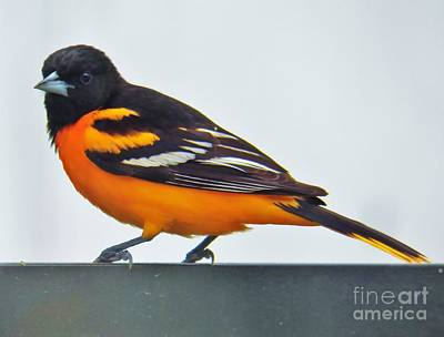 Baltimore Oriole Male Original by Judy Via-Wolff