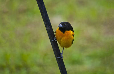 Baltimore Oriole On Pole Art Print by Shelly Gunderson