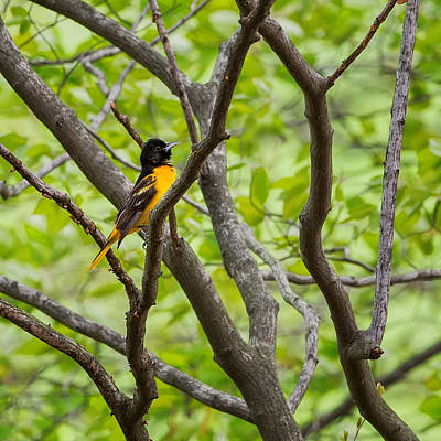 Song Bird Photograph - Baltimore Oriole Square by Bill Wakeley