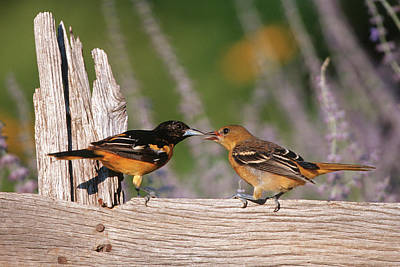 Bird And Worm Photograph - Baltimore Orioles (icterus Galbula by Richard and Susan Day