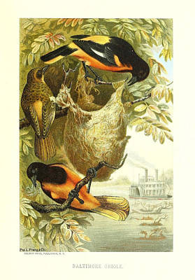 Oriole Drawing - Baltimore Orioles by Philip Ralley