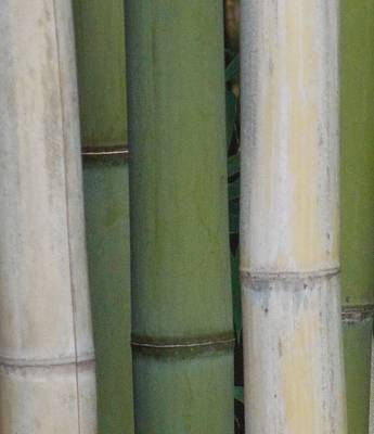Bamboo 1 Art Print