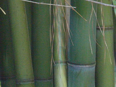 Bamboo 3 Art Print