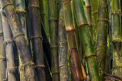 Photograph - Bamboo by Avian Resources